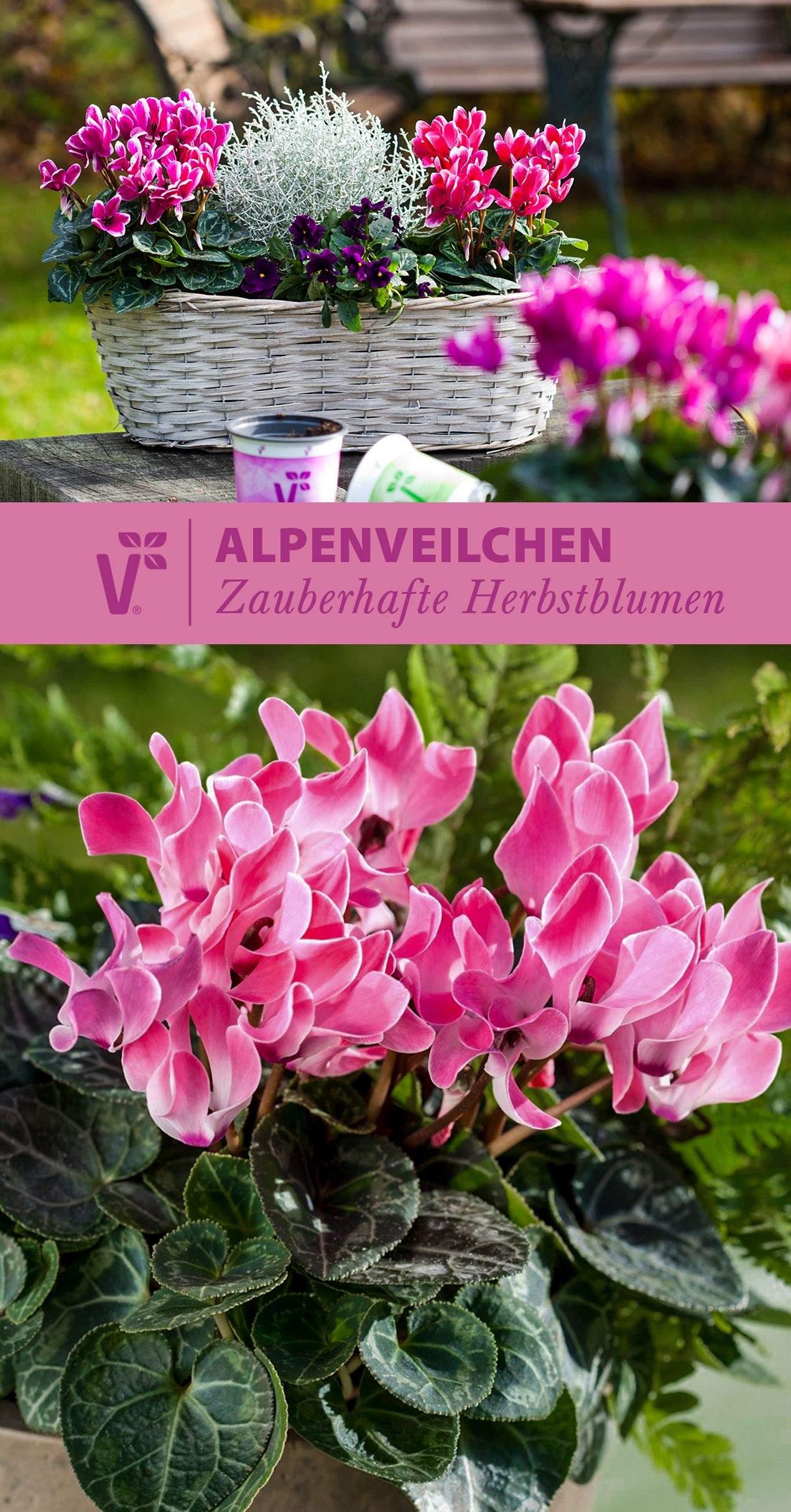 Alpenveilchen Im Garten Frisch Alpenveilchen Gehören Zu Den Herbstblumen Wunderschön