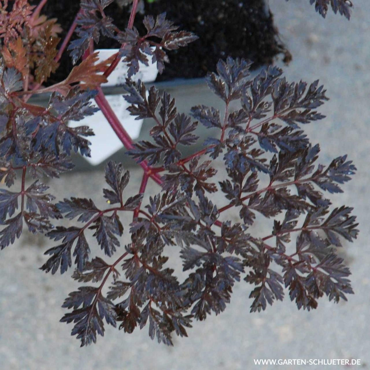 1 Purpur Wiesen Kerbel Ravenswing Anthriscus sylvestris Ravenswing 1280x1280