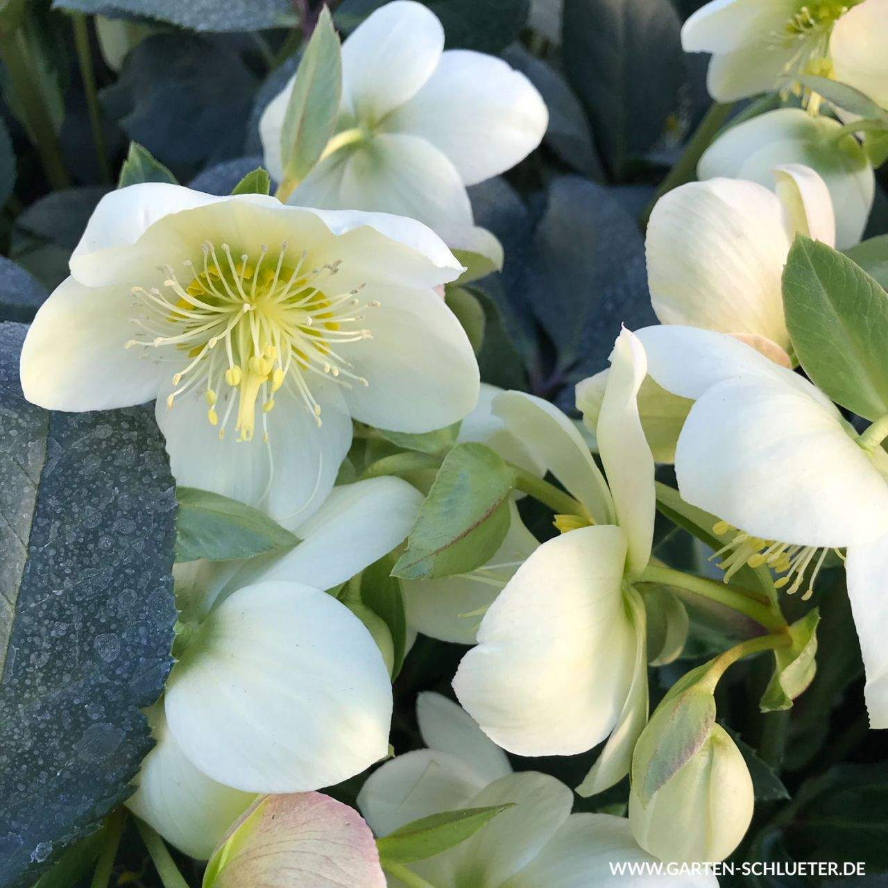 1 Christrose Weiss Helleborus orientalis Weiss 1280x1280