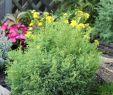 Alter Garten Das Beste Von Hinoki Scheinzypresse Saffron Spray