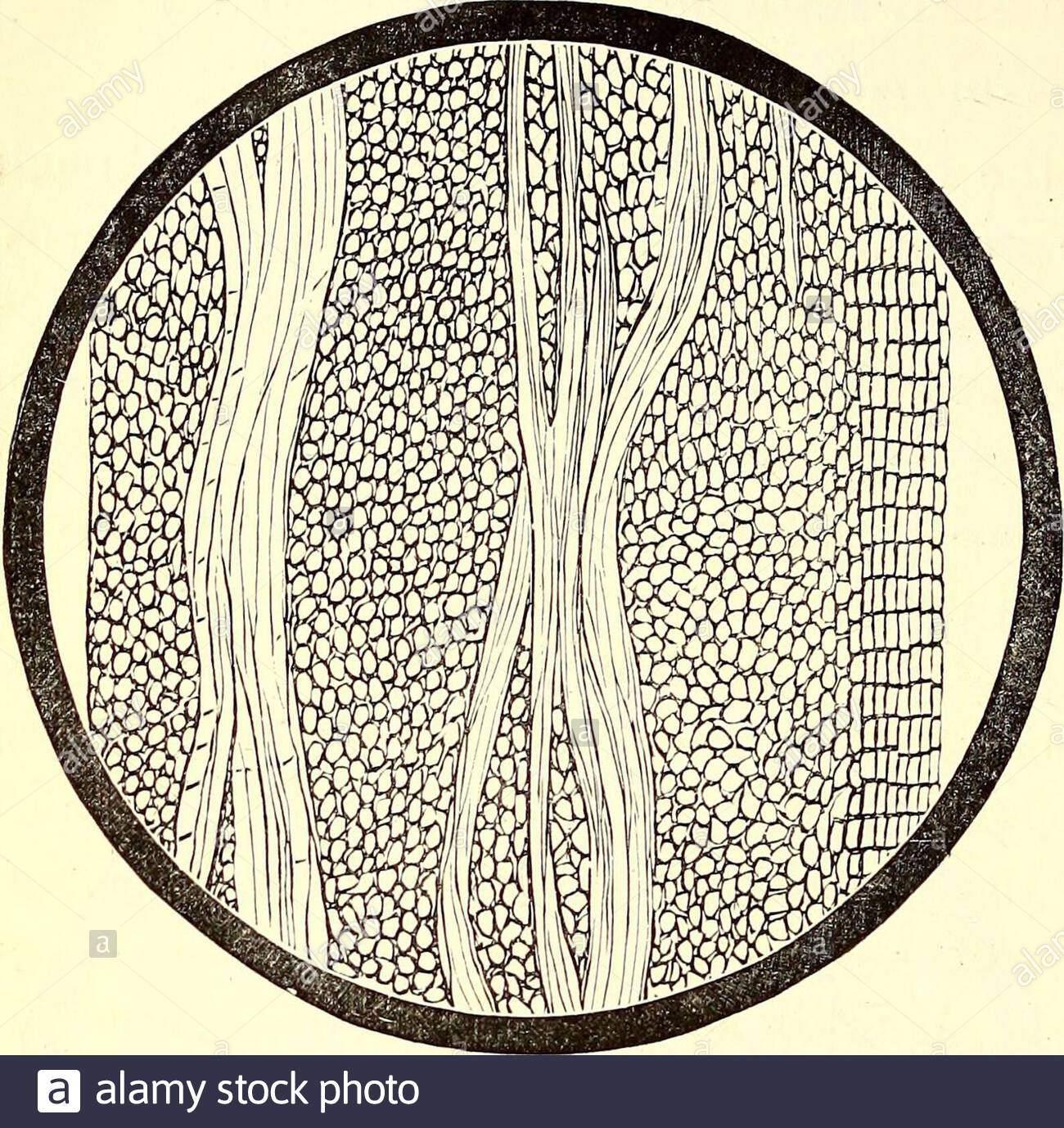 american journal der apotheke 596 jrubus villosus f standort jour pharm1 dez 1881 braune farbe aussen und einer dunkleren braun in der mittleren schicht und etwas zerknittert ein langsschnitt der rinde zeigt faserige orbast gewebe das macht es sehr zah und stark obwohl es in der richtung der faser mit komparativen einfach abgerissen werden cross abschnitt stellt me dullary strahlen und t er keilformig bundlesof bastfasern gewebe der epi oder aboutsix phloeum besteht aus sieben schichten oftabular zellen und quiteporous themeditullium ist von den zahlrei kanale barkfou 2akpnwe
