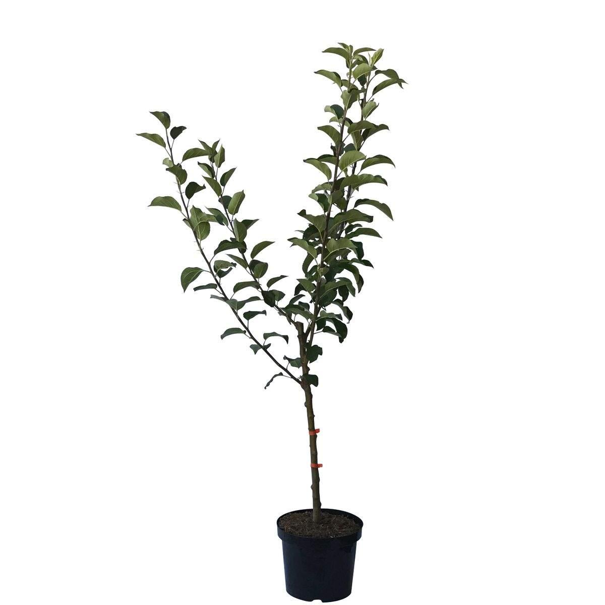 familienbaum vierling apfelbaum s1 klarapfel james grieve goldparmane 5187
