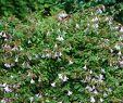 Asia Garten Neu Großblumige Abelie Pinky Bells