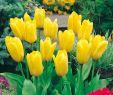Asiatischer Garten Reizend Fosteriana Tulpe Candela 10 Stück Tulipa Fosteriana Candela