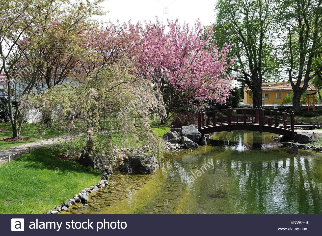 kirschbaume bluhen durch eine gewolbte brdige im japanischen garten japanischer garten in bad langensalza deutschland enw0hb