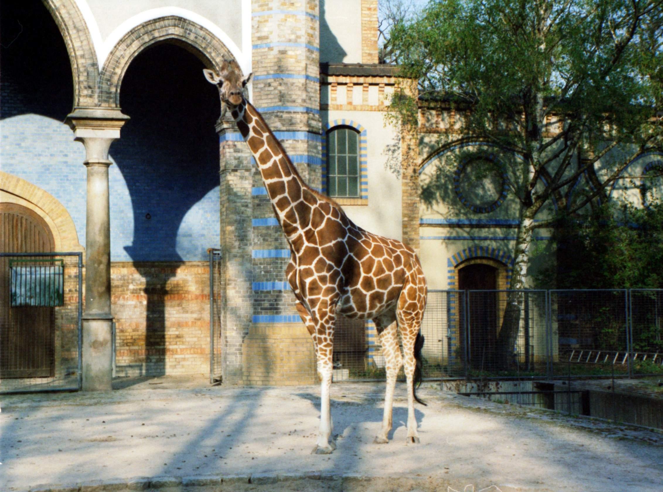 Giraffe berlin zoo