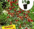 Baldur Garten Versand Reizend Kletter Erdbeeren Elan F1