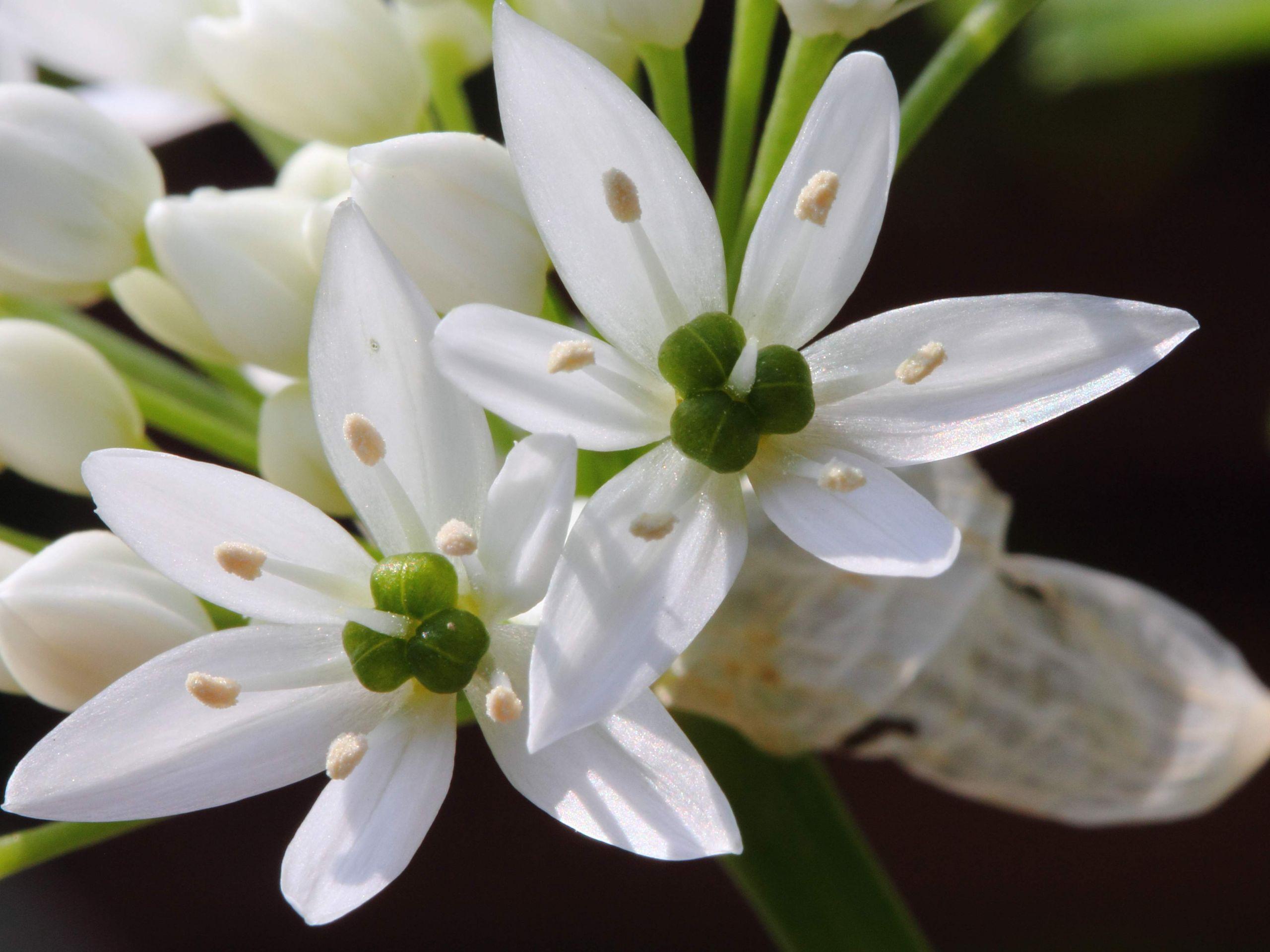 Allium ursinum HC1 JPG