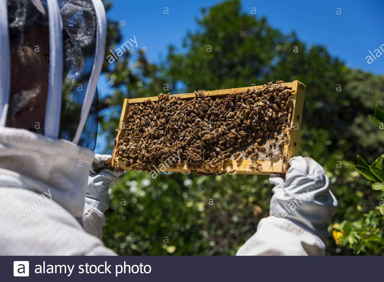 imker mit einem honig frame in bienen bedeckt 2ae0c3j