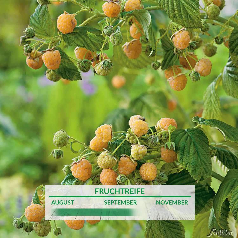 1 Saeulen Himbeere Twotimer Gelbe Sugana Rubus idaeusxw4uyOckhn1fV 1280x1280 2x