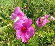 Bienenfreundlicher Garten Das Beste Von Freilandgloxinie Incarvillea Delavayi Trompetenartige