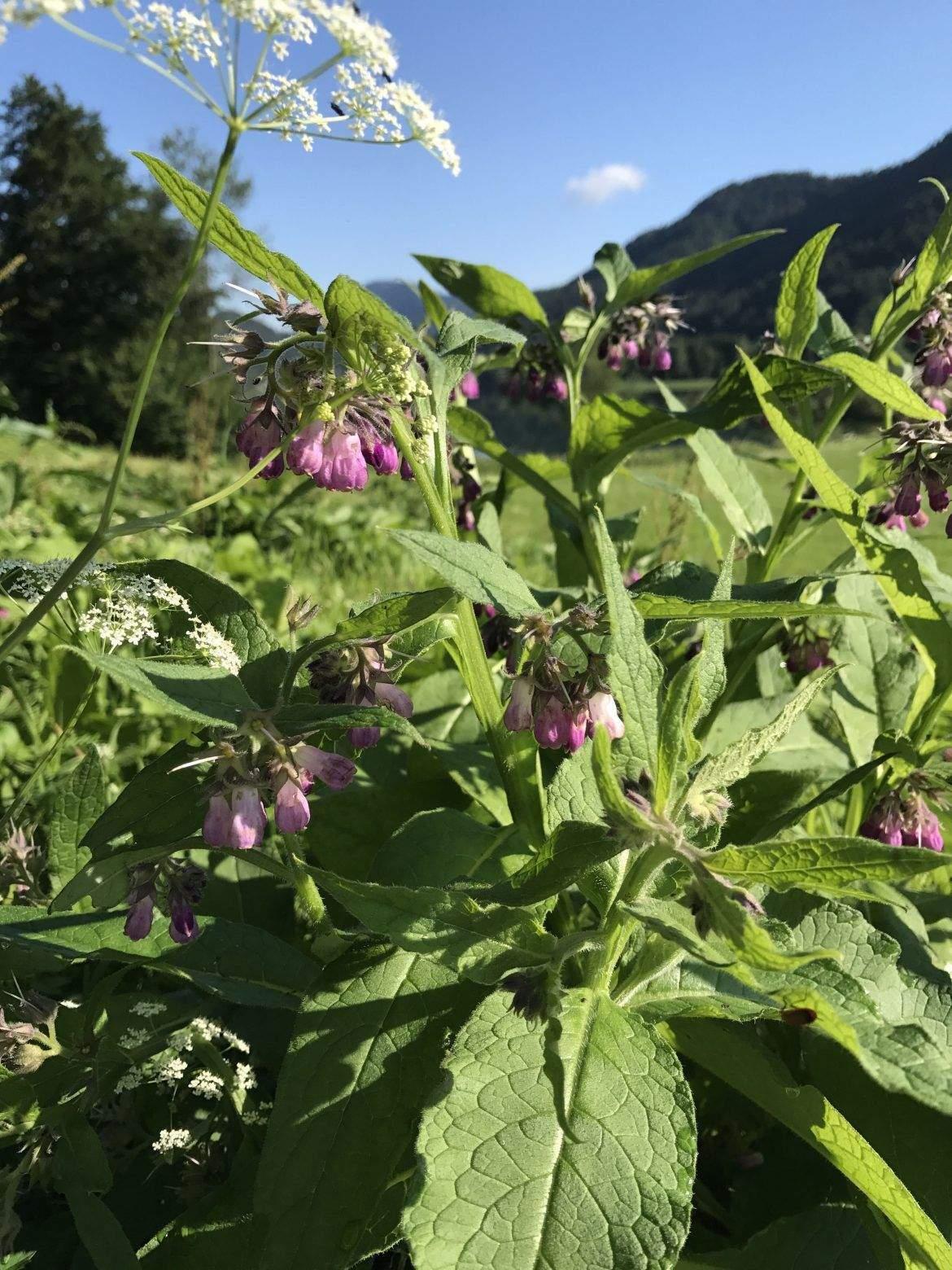 garten ringelblume das beste von beinwellsalbe quotknochenheilerquot selbst gemacht of garten ringelblume
