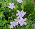 Bienenfreundlicher Garten Elegant Teppichglockenblume Campanula Portenschlagiana Diese