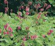 Bienenfreundlicher Garten Elegant Zwerg Herzblume Dicentra Eximia