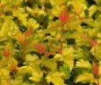 Bienenfreundlicher Garten Frisch Fasanenspiere Dart S Gold Physocarpus Opulifolius Dart S Gold´