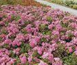 Bienenfreundlicher Garten Reizend Bodendeckerrose Palmengarten Frankfurt Adr Rose Rosa Palmengarten Frankfurt