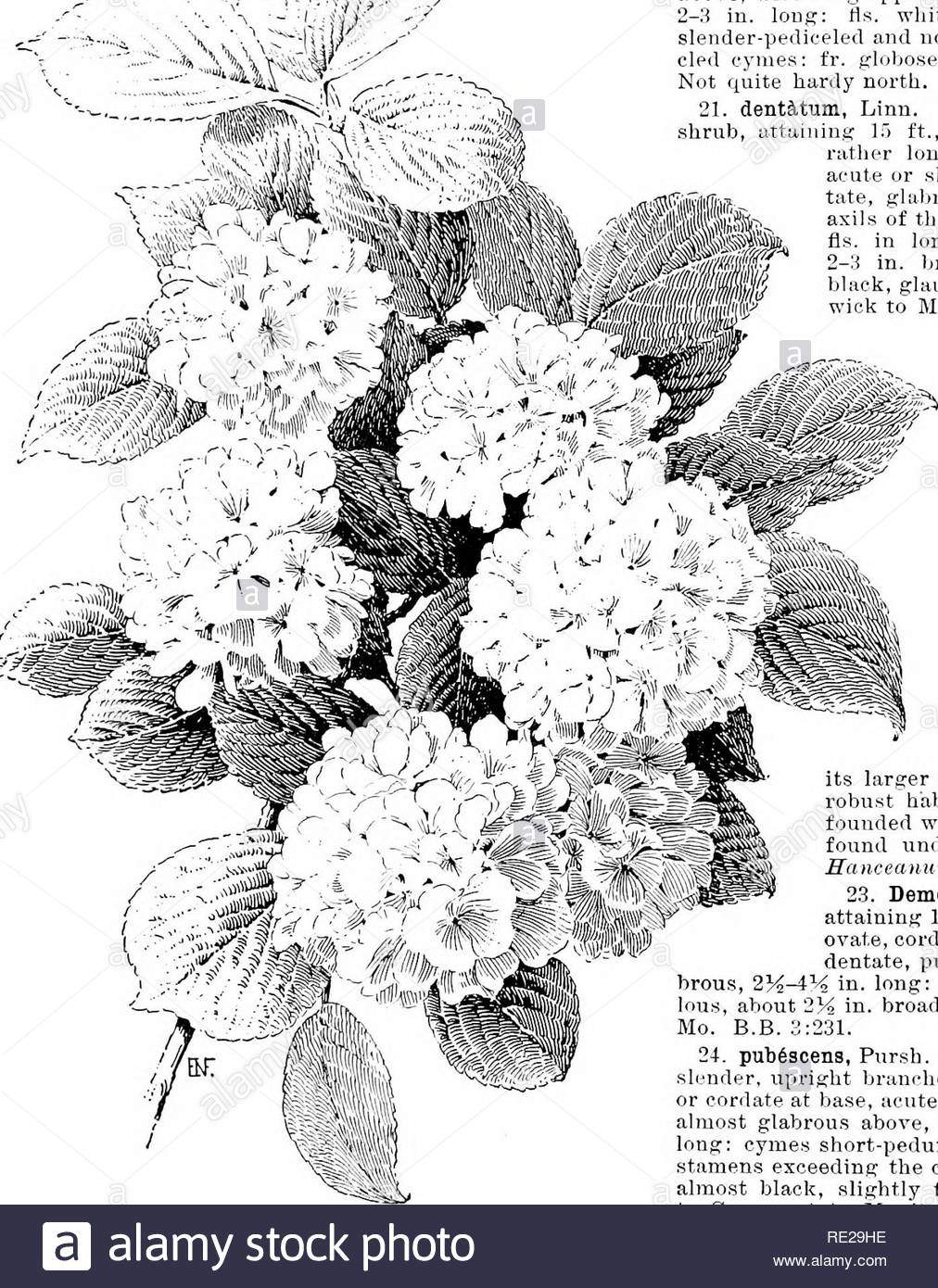 cyclopedia der amerikanischen gartenbau bestehend aus anregungen fur den anbau von gartenpflanzen beschreibungen der arten von obst gemuse blumen und zierpflanzen in den vereinigten staaten und in kanada verkauft zusammen mit geographischen und biographische skizzen im garten arbeiten 1926 viburnum viburnum 17 jap 6 nicuin spreng ich marrophijuifm blume upn rbt strauch bis 6 ft mit ghihrous hrauchey ivs breit oder rhombische eiformig zu obiony eiformig akute oder kurz zugespitzt aus der ferne gyrus ausser an der unterseite 3 g ie lang fls kurz peduncled kahl cymes 2 4 in breite f re29he