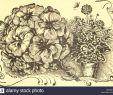 Blumen Für Garten Schön Irac Stockfotos & Irac Bilder Alamy