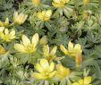 Blumen Im Garten Reizend Winterlinge Vermehren