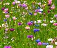 Blumenwiese Im Garten Frisch Seedeo Große Kornblumenwiese Centaurea Cyanus 750 Samen