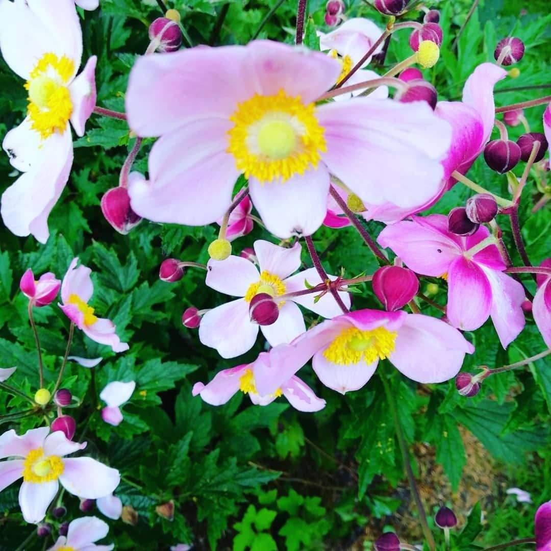 blumen im garten schon euchinacea sonnenhut anemone windrosschen meingarten of blumen im garten