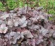 Bodendecker Garten Einzigartig Garten Silberglöckchen Plum Pudding • Heuchera Micrantha Plum Pudding
