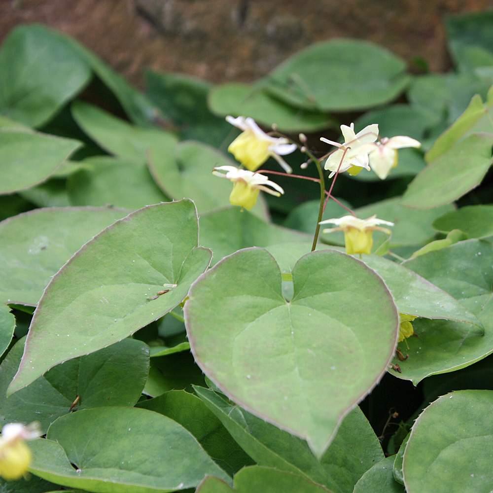 Epimedium Sulphureum eins