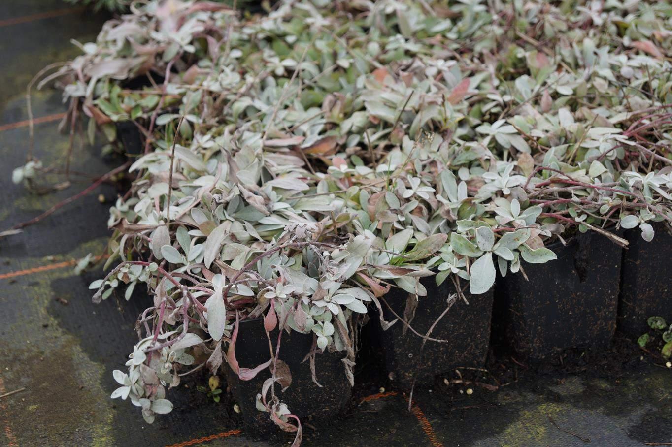 silbrigblattriges garten habichtskraut hieracium pilosella hieracium pilosella niveum7t2YBALTemI8G