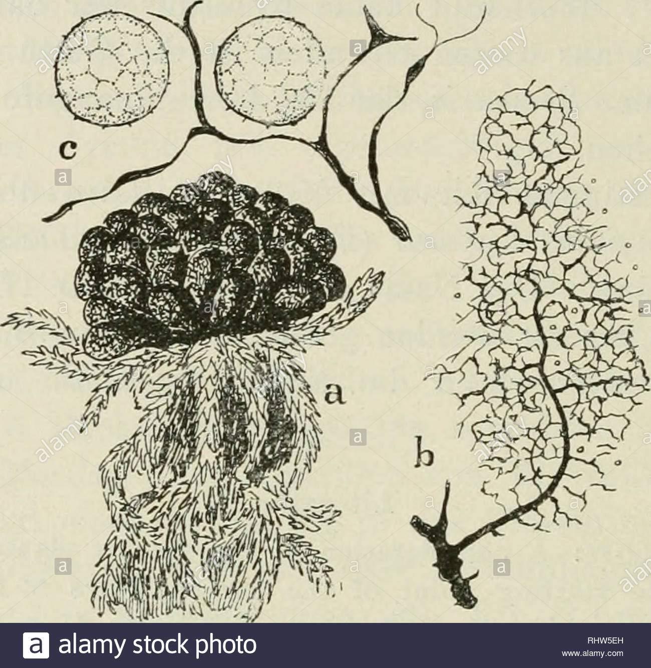 berichte der deutschen botanischen gesellschaft plants plants germany 394 e jahn darber waren jahre vergangen als mir im september 1918 herr dr l peters bei einem unserer ausflge mitteilte er habe im moor hinter paulsborn einen myxomyceten gefunden den er fr badhamia lilacina halte eine probe zeigte richtigkeit der bestimmung ich sah jetzt ein da ich durch zeitangabe von hennings irregefhrt worden war im sommer 1919 besuchte ich in begleitung der herren peters duysen und osterwald fundstelle wieder wir konnten auf sphagnum nicht nur sporangien in menge RHW5EH