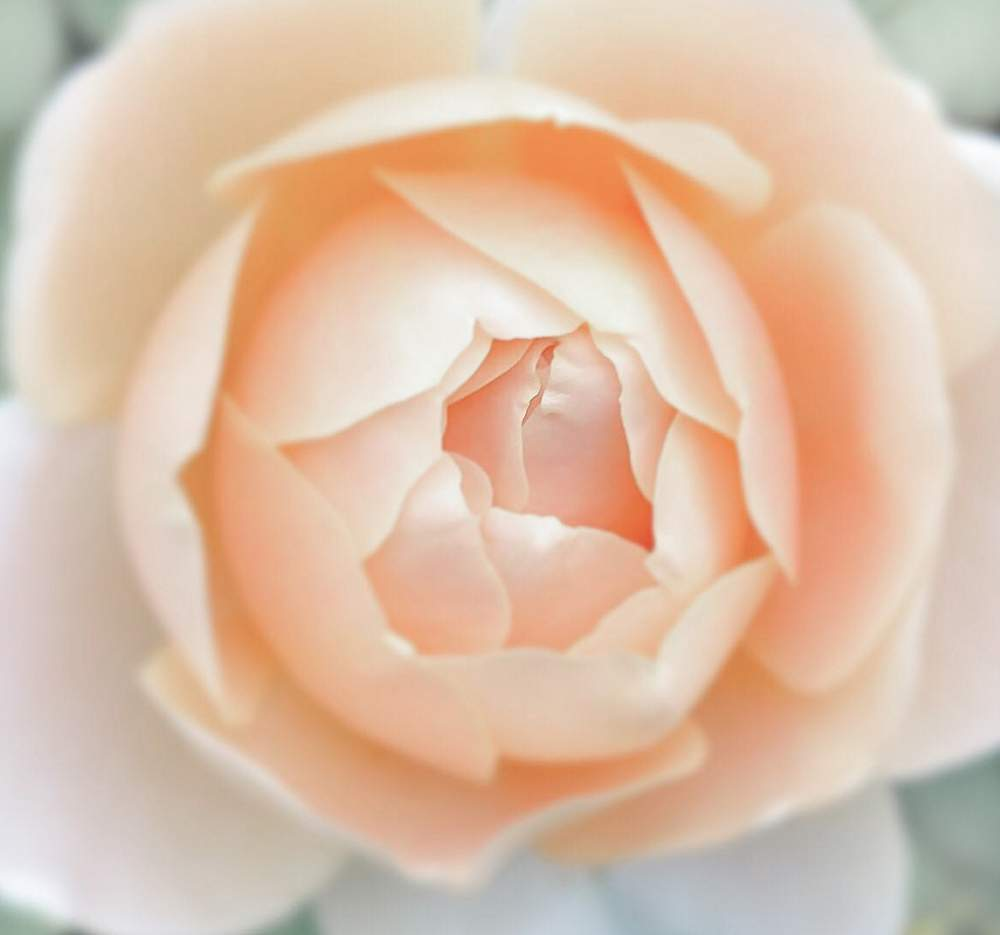 rose ambridge neu