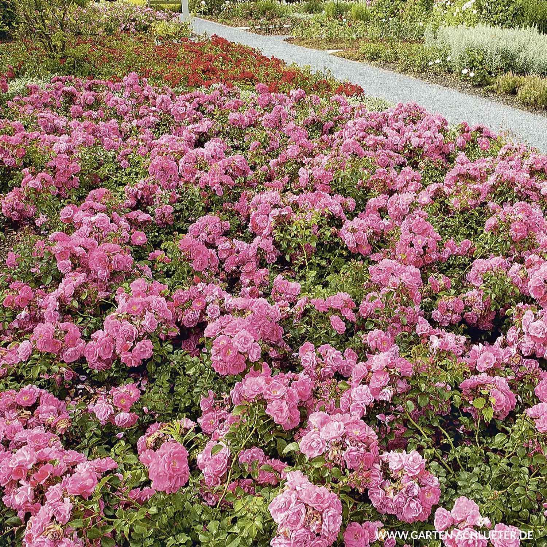1 Bodendeckerrose Palmengarten Frankfurt ADR Rose Rosa Palmengarten Frankfurt
