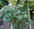 Botanischer Garten Frankfurt Am Main Reizend Rubus Goniophorus Wikiwand