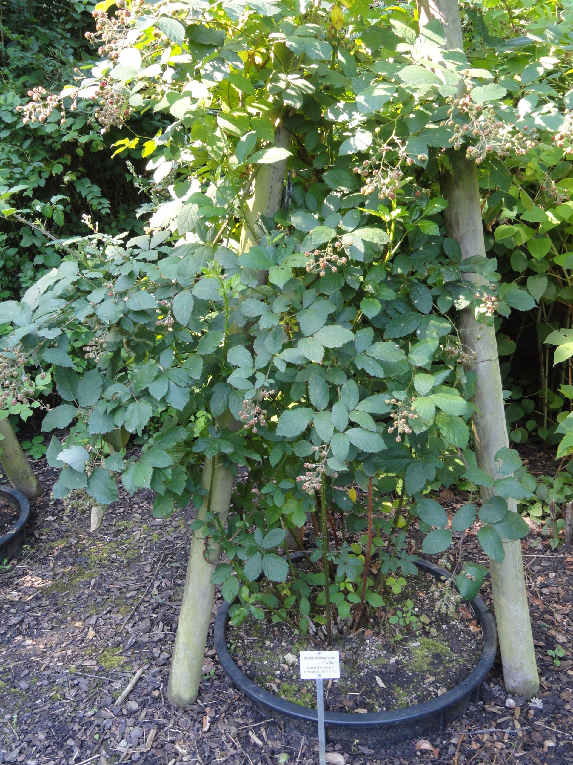 Rubus goniophorus Botanischer Garten Frankfurt am Main DSC JPG