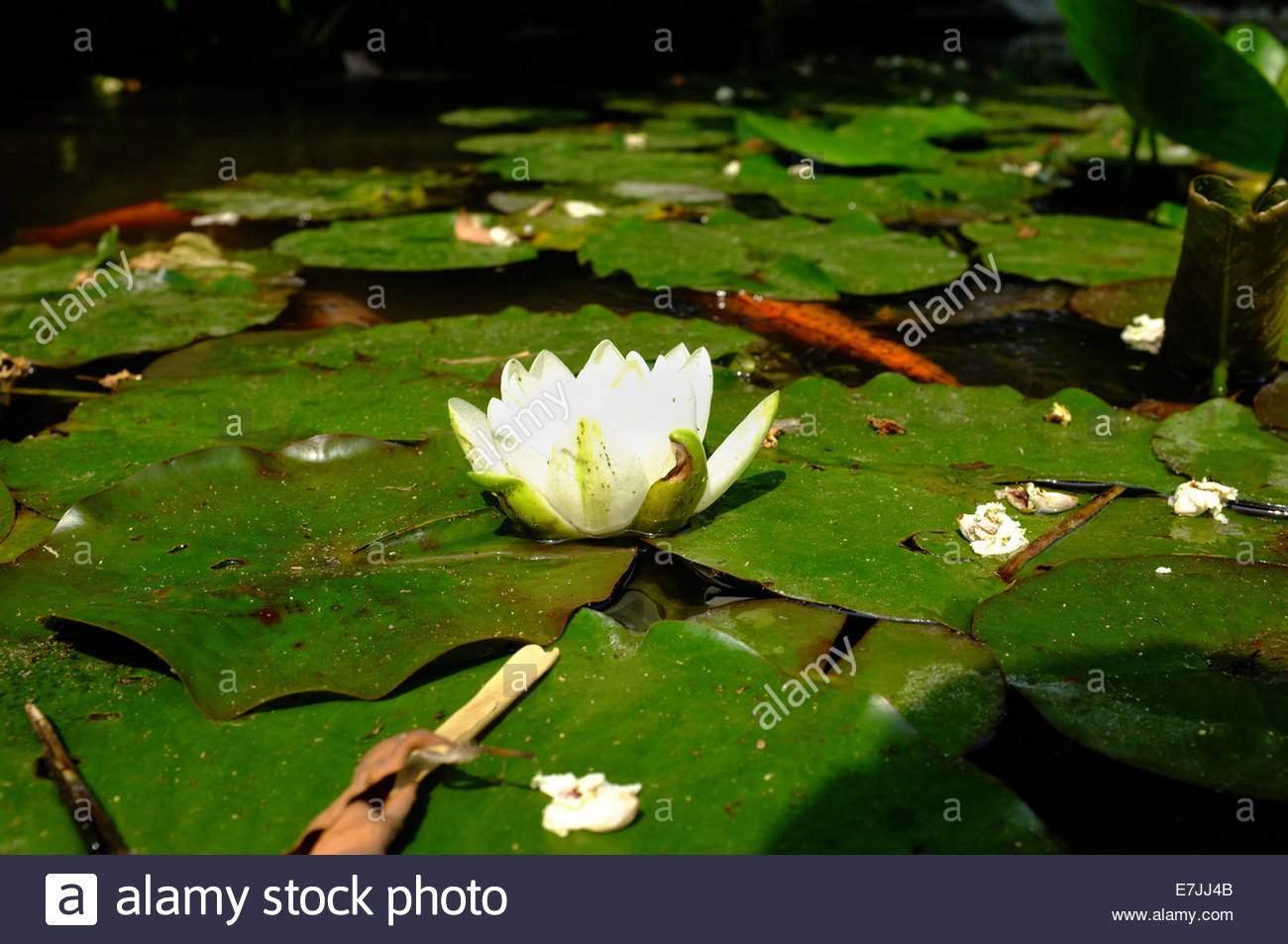 andr hellers botanischen garten von gardone rivera am gardasee italien wasser lillys e7jj4b