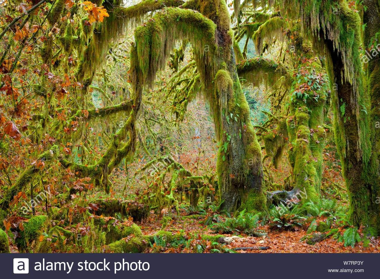 moosige barte hangen von sen grossen blatt ahorn acer macrophyllum in der halle der moose abschnitt der hoh regenwald im olympic national park washington usa november 2012 w7rp3y
