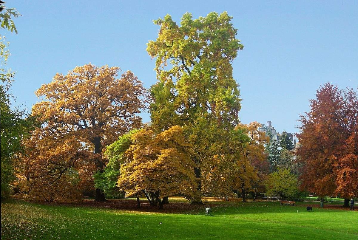 1200px Tulpenbaum im Alten Botanischen Garten Marburg Elop