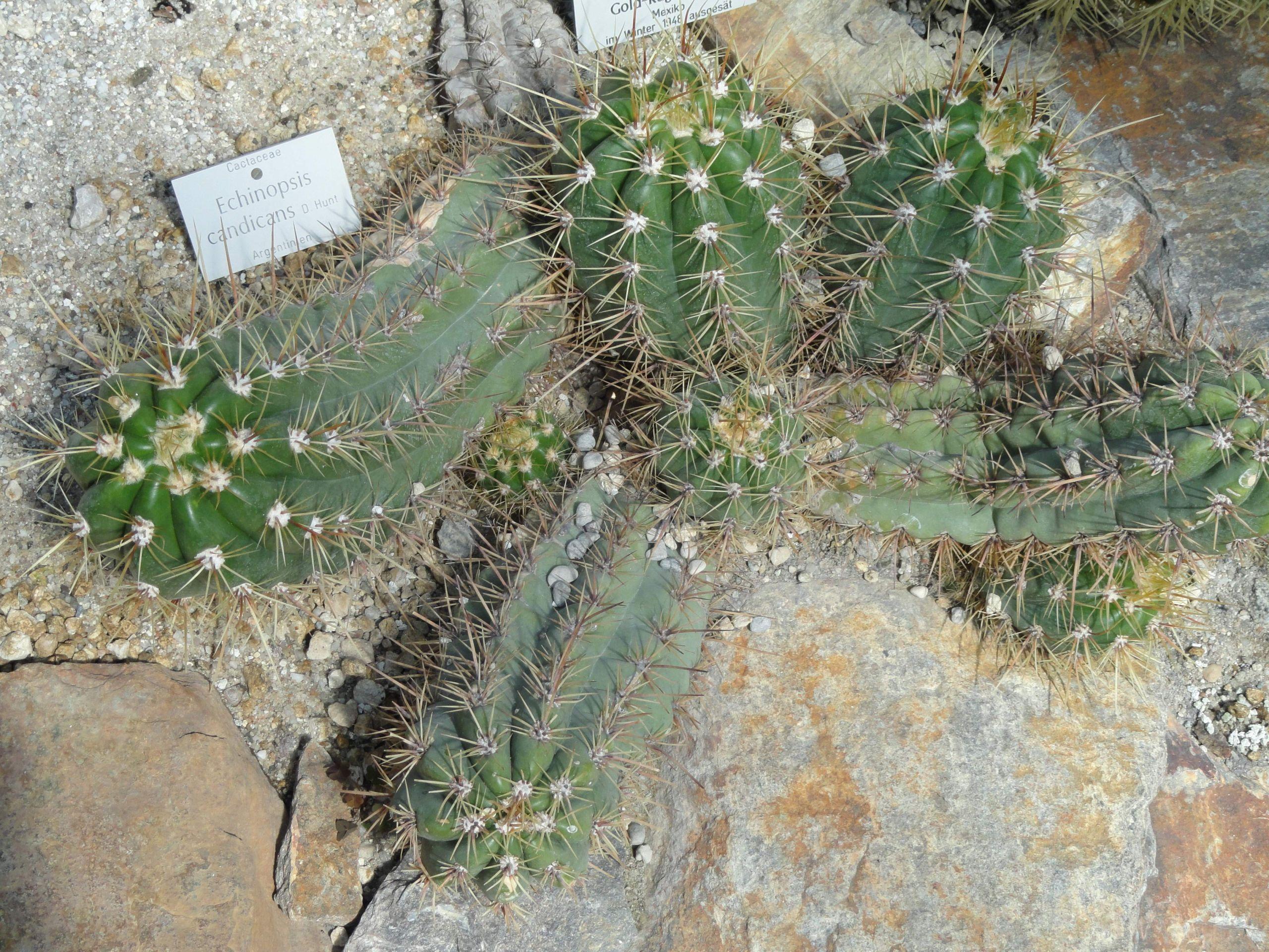 Botanischer Garten Nymphenburg Frisch Datei Echinopsis Candicans Botanischer Garten München