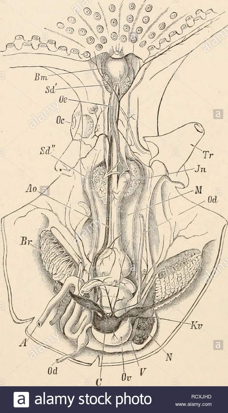 elementare lehrbuch der zoologie zoologie g2 mollusca sendet eine grosse anzahl von nerven mit dem mantel eingeweide und kiemen grossen ganglion stellatum sich auf jeder seite im mantel gefunden wird wird ein ganglion der vena cava zwei branchial gjinglia und ganglienzellen splancknicum sind alle auf dem kurs ser nerven von der viszeralen ganglien entwickelt der sinnesorgane grosse augen auf den seiten des kopfes sind auffalligsten jedes auge lampe ist in einer speziellen umkreisen teilweise durch eine ausgrabung in der ce phalic knorpel gebildet wird es ist in einem geschlossenen rcxjhd