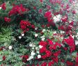 China Garten Genial Rote Rosen ❤️ Gemischt Mit Den Weißen Wirkt Es Gleich Viel