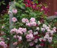"China Garten Reizend Helen Fredholm On Instagram "" May Queen Og Clematis"