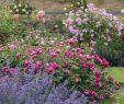Cottage Garten Frisch Background Nepeta with Rosenepeta with Rose Background