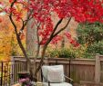 Deavita Garten Luxus érable Du Japon Dans Le Jardin En 55 Idées D Aménagement