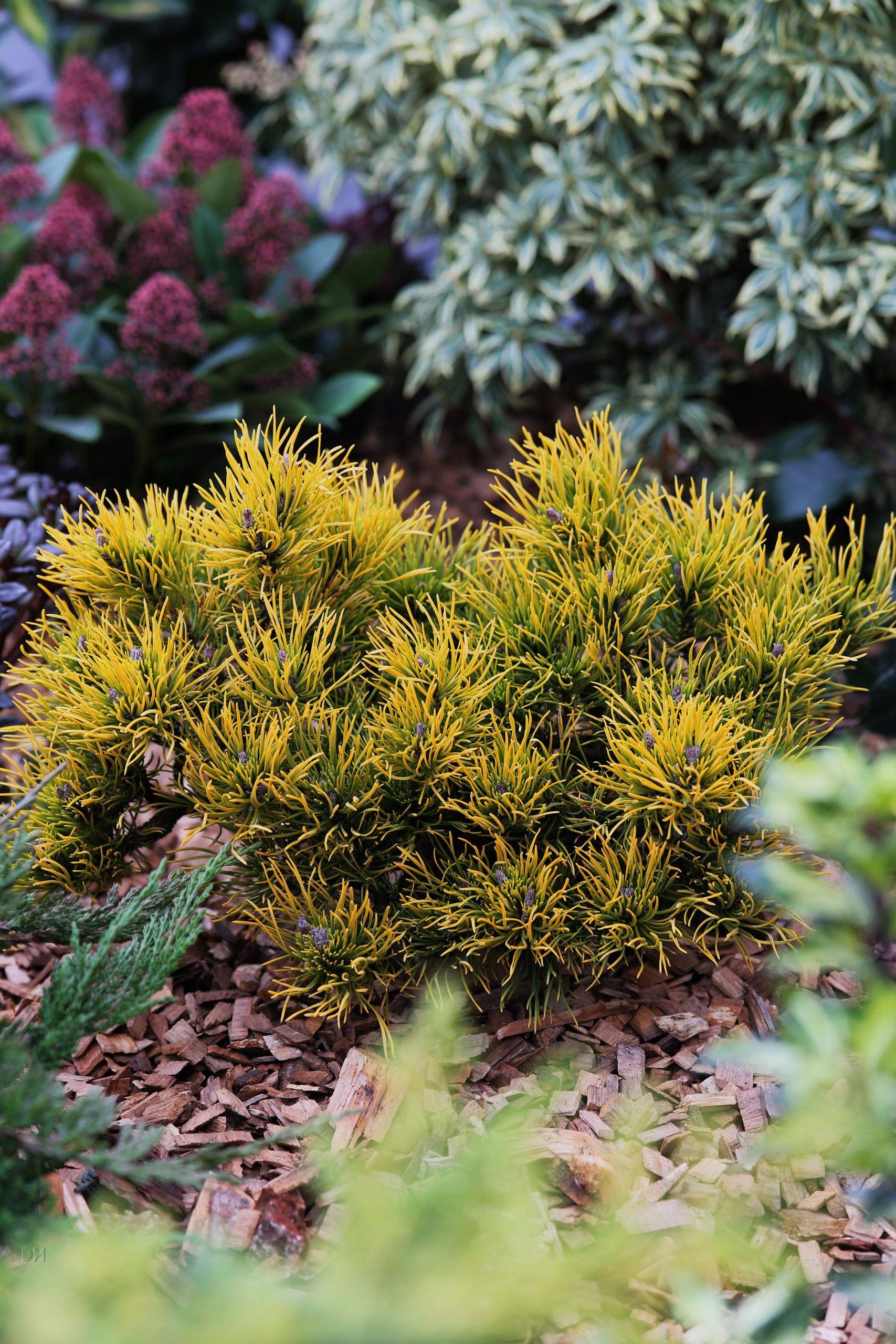 Pinus mugo Wintergold 1S1B7313 b