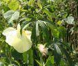 Dresden Botanischer Garten Genial Datei Abelmoschus Manihot 06 –