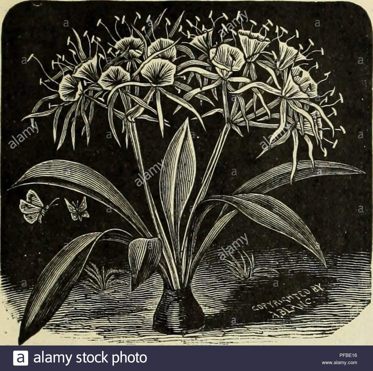 beschreibende und illustrierte katalog und handbuchroyal palm baumschulen baumschulen gartenbau florida kataloge tropische pflanzen kataloge obstbaume samlinge kataloge zitrusfruchte industrie kataloge kataloge obst pflanzen zierpflanzen kataloge sonstiges abteilung pancraiium caribb eum fspldek lilv nerium flavum duplex doppel gelb ein sehr knappes sortieren 75 cent grosse der oleander wir aussenden wird von vielen unserer kunden gekennzeichnet sie sind gross wie hier sie zu einer grosse innerhalb von ein paar monaten wachsen im norden fast so viele jahre dauern wurde ich drei pflanzen pfbe16
