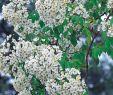 Garten 2000 Reizend Historische Ramblerrose R Filipes Kiftsgate Rosa R Filipes Kiftsgate