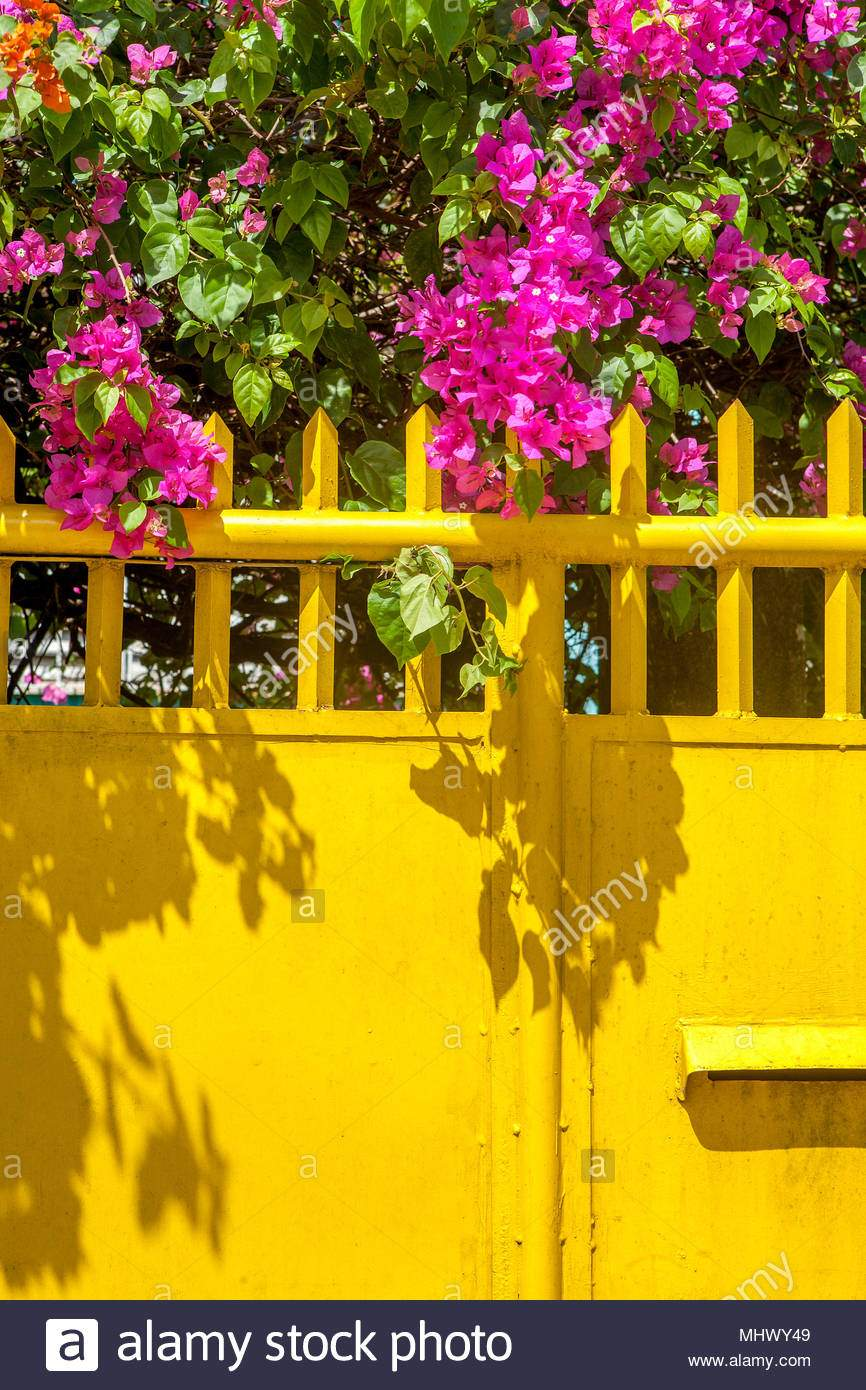 auffallige rosa bougainvillea bougainvillea californica macht einen bunten garten akzent hangt uber einem gelben zaun in puerto princesa palawan phil mhwy49