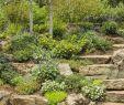 Garten Am Hang Ideen Neu Denim N Lace Russian Sage Perovskia atriplicifolia