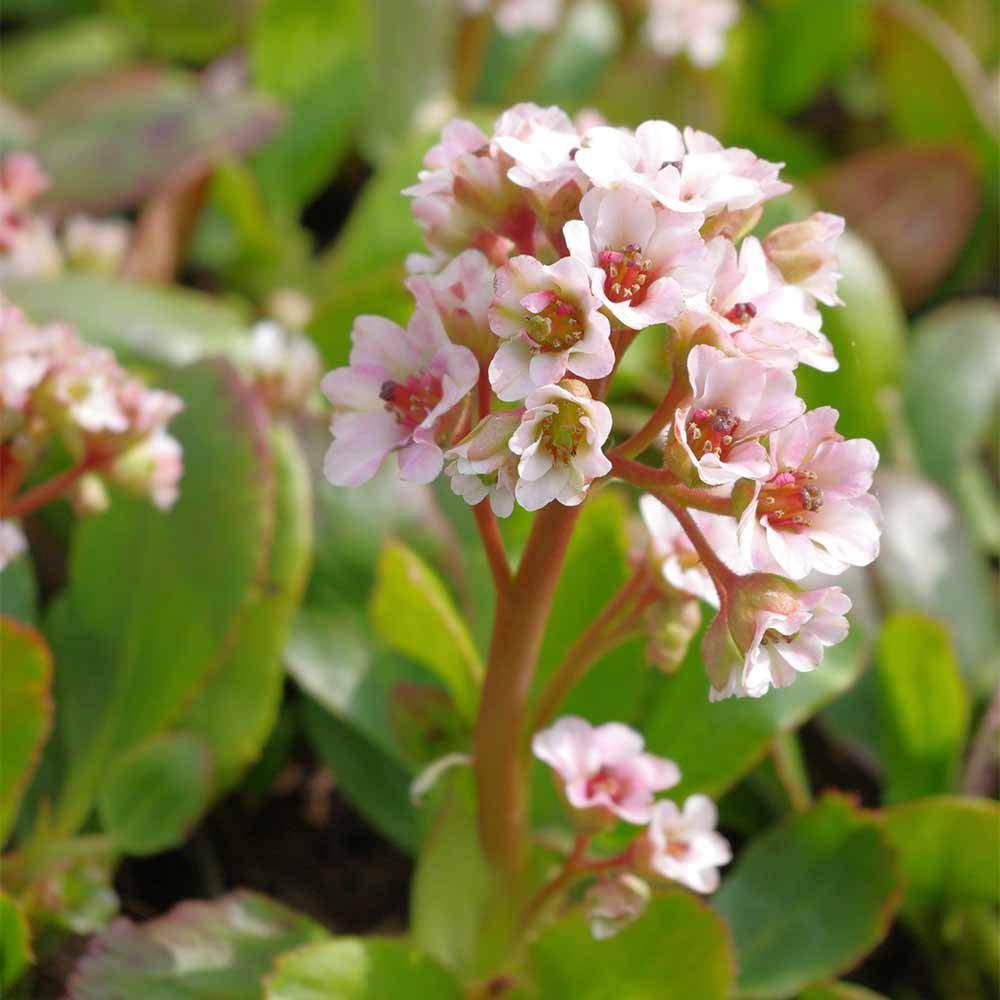 XXXbergenia cordifolia schneekoenigin 500x500 2x