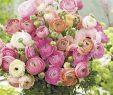 Garten Blume Einzigartig Ranunkeln Pastell Mix 10 Stück